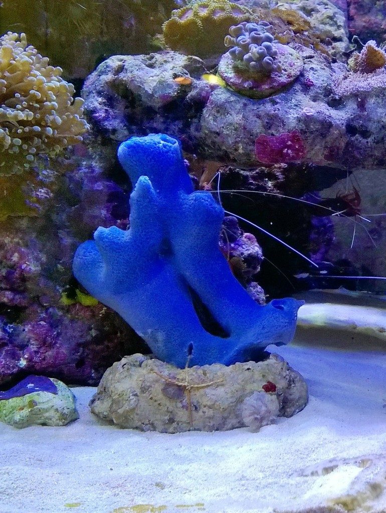 haliclona-bleu