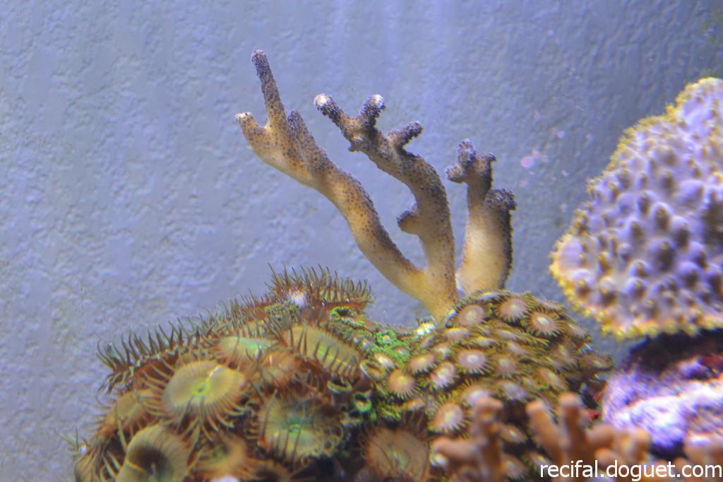 Stylophora milka mauve