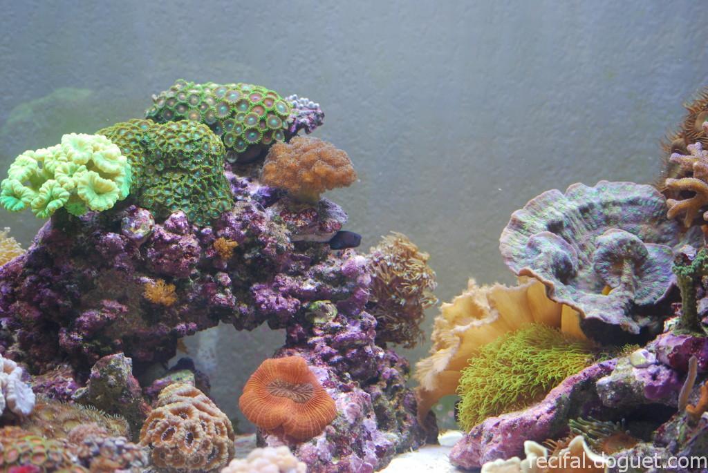 Ecsenius bicolor dans sa cachette