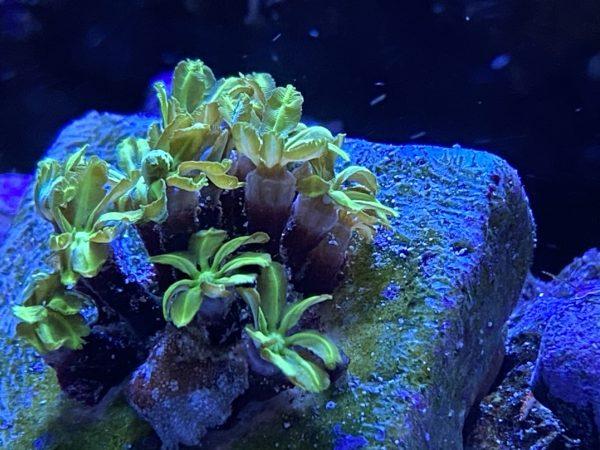 tubipora vert